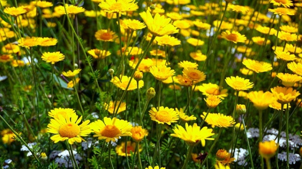 Flowers Flower Meadow Yellow Nature
